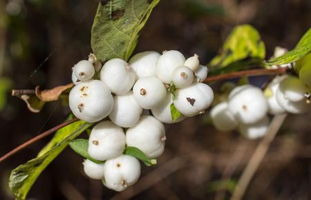 Weiß Steinfrüchte auf einem Zweig des Gemeinsamen Schneebeere, Symphoricarpos albus