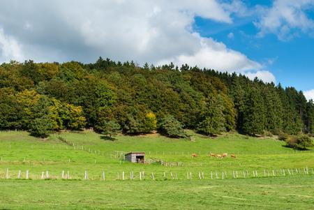 Rinder auf den Wiesen in der Hasenkammer unter dem Winterkopf in der Nähe von Medebach im Hochsauerland