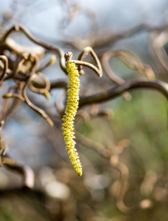 Haselnusszweig, Corylus avellana Contorta, mit männlichem Blütenstand
