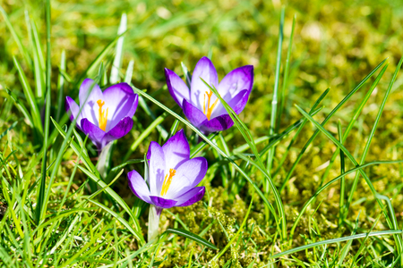 Blooming Spring Crocuses in a sunny spot Standard-Bild