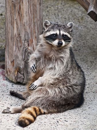 racoon sitting on stone in Zoo in Moscow, Russia