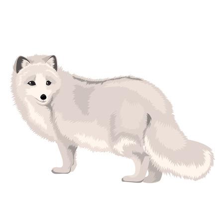 Vector Illustration Arctic Fox Vectores