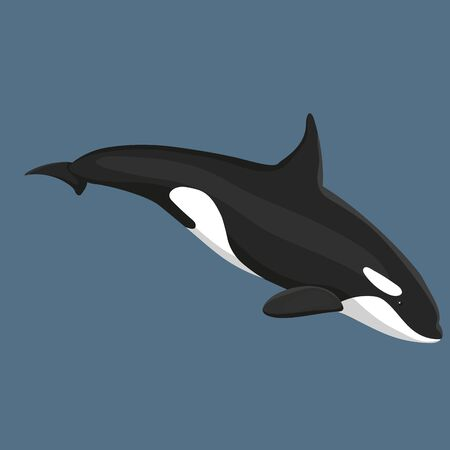 Vector Illustration Of Killer Whale Swims Isolated