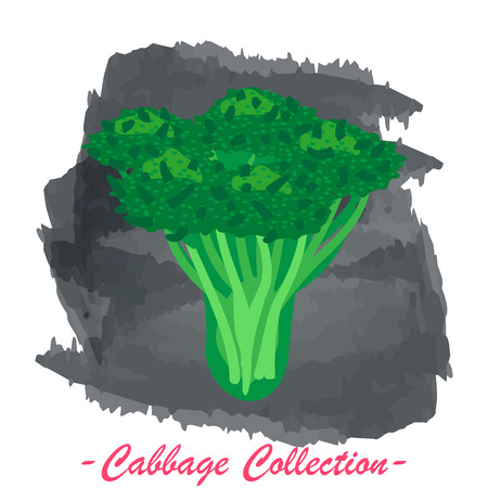brassica: Organic fresh broccoli cabbage vector illustration. Vegan vegetable raw food. Illustration