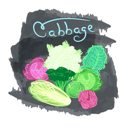 brassica: Organic fresh cabbage vector illustration. Vegan vegetable raw food.