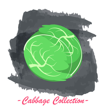 brassica: Organic fresh white cabbage vector illustration. Vegan vegetable raw food.