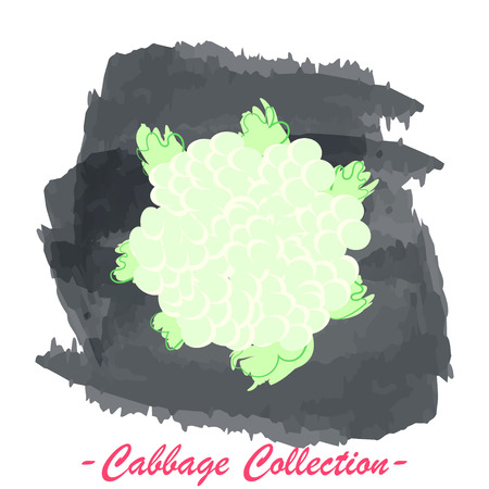 brassica: Organic fresh cauliflower cabbage vector illustration. Vegan vegetable raw food.