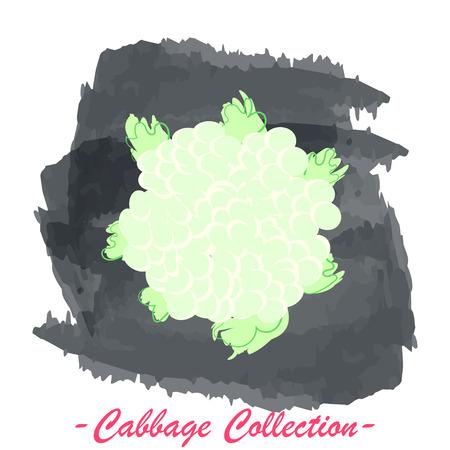 brassica: Organic fresh cauliflower cabbage vector illustration. Vegan vegetable raw food.