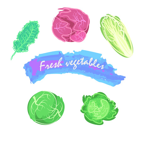 brassica: Organic fresh cabbage vector illustration. Vegan vegetable raw food.