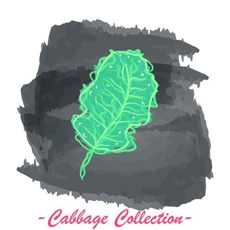 brassica: Organic fresh kale cabbage vector illustration. Vegan vegetable raw food.