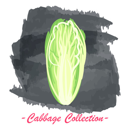 brassica: Organic fresh chinese cabbage vector illustration. Vegan vegetable raw food. Illustration