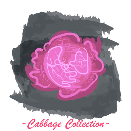 brassica: Organic fresh purple cabbage vector illustration. Vegan vegetable raw food.
