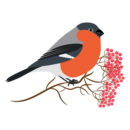 rowanberry: Bullfinch isolated on white vector. Sitting at a rowanberry tree branch. Winter bird illustration