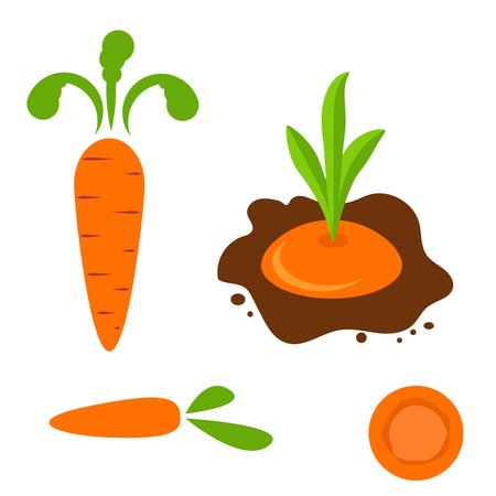planted: Carrot vector set in different styles. Cartoon flat style planted carrot vegetable and orange slice. Illustration