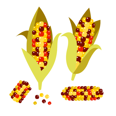 sweetcorn: Flint or calico corn vector illustration. Maize ear or cob. Yellow sweetcorn and seeds.