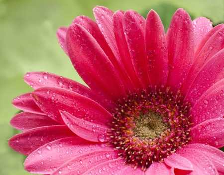 isolated pink daisy in a wet day