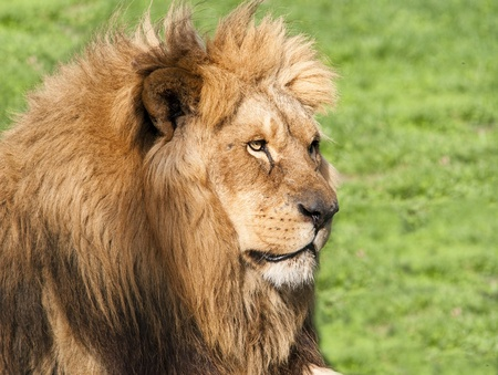 Male lion looking his territory