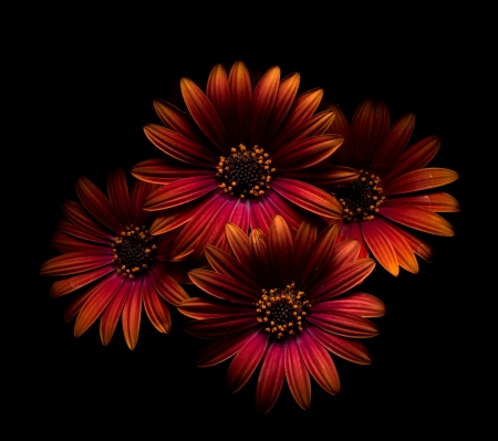 Four beautiful orange gerberas Stock Photo - 13994406