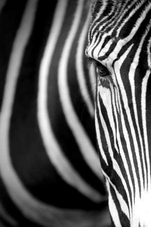 Monochromatic image of a the face of a Grevys zebra
