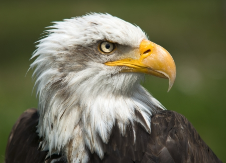 Majestic bald  Eagle Portrait on green Stock Photo