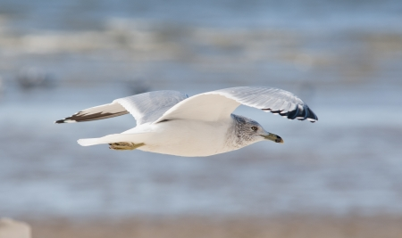 flying common seagull in key west, florida