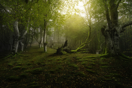 beechwood: Life and death in the green forest of beech Stock Photo