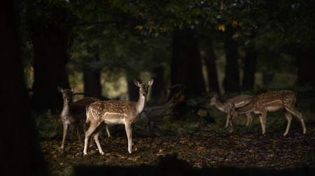 Group of female fallow deer in the forest at sunrise