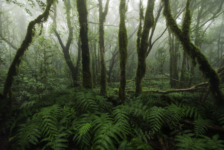 laurel mountain: Laurisilva rain forest, Anaga mountains, Canary Islands Stock Photo