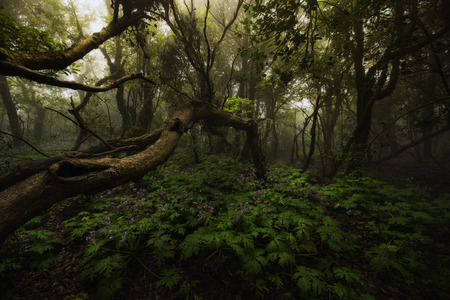 Laurisilva forest in Anaga, Tenerife, Canary islands, Spain Stock Photo