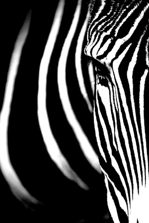 Monochromatic image of a the face of a Grevy's zebra