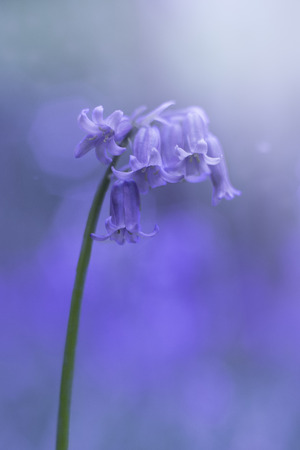 Bluebells wild spring flowers in the forest at sunset photo