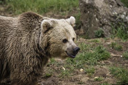 omnivore: Brown European bear portrait looking his territory