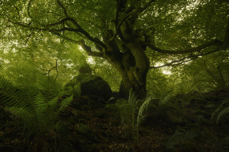 Old beech in the forest, Asturias, Spain Stock Photo