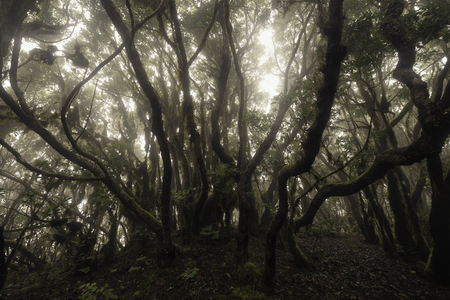 Laurisilva forest in a foggy day, Tenerife, Spain