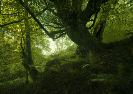 Beech old forest in Asturias, Spain