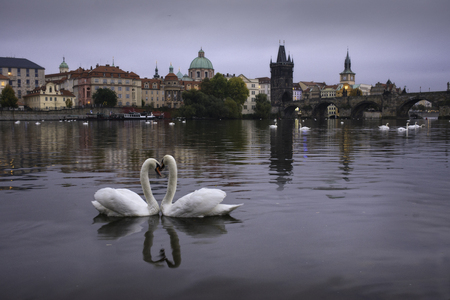 Two swans in shape of heart in Prague, Czech Republic