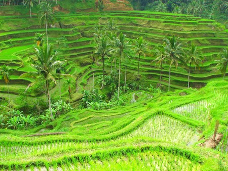 Rice terraces in Tegallalang, Bali, Indonesia Stock Photo - 4313518