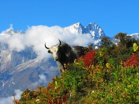 サガルマータ国立公園、ヒマラヤ、ネパールの斜面にヤクします。