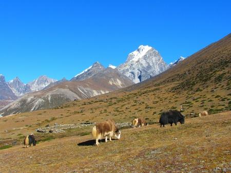 himalaya: Grazing yaks in Sagarmatha National Park, Himalayas, Nepal Stock Photo