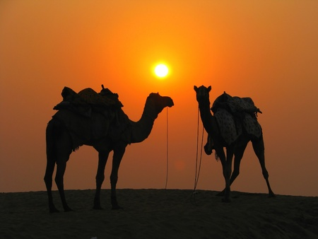 Camels in the desert at sunset, Sam Sand Dunes near Jaisalmer, India photo