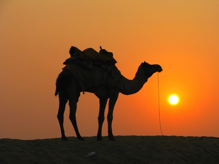 A camel in the desert at sunset, Sam Sand Dunes near Jaisalmer, India Stock Photo - 13037312