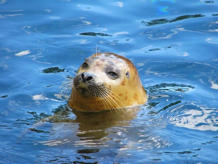 kisser: Seal with head above water, Florida, USA Stock Photo