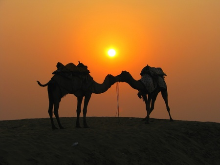 Camels in the desert at sunset, Sam Sand Dunes near Jaisalmer, India Stock Photo - 13060783