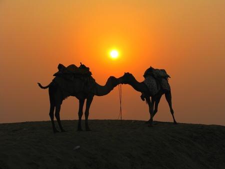 Camels in the desert at sunset, Sam Sand Dunes near Jaisalmer, India Stock Photo - 13060783