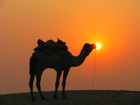 A camel in the desert at sunset, Sam Sand Dunes near Jaisalmer, India Stock Photo - 13060785