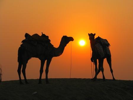 Camels in the desert at sunset, Sam Sand Dunes near Jaisalmer, India 免版税图像