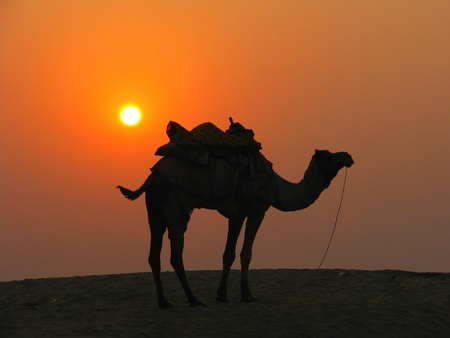 A camel in the desert at sunset, Sam Sand Dunes near Jaisalmer, India photo