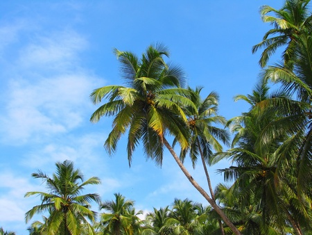 Blue sky palm trees on Palolem beach, Goa, India photo