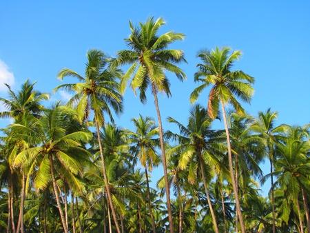 Palolem ビーチ、ゴア、インドで青い空ヤシの木