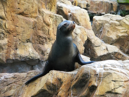 lions rock: Seal looking up and sit on rock, Florida, USA Stock Photo